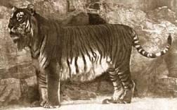 Panthera_tigris_virgata
