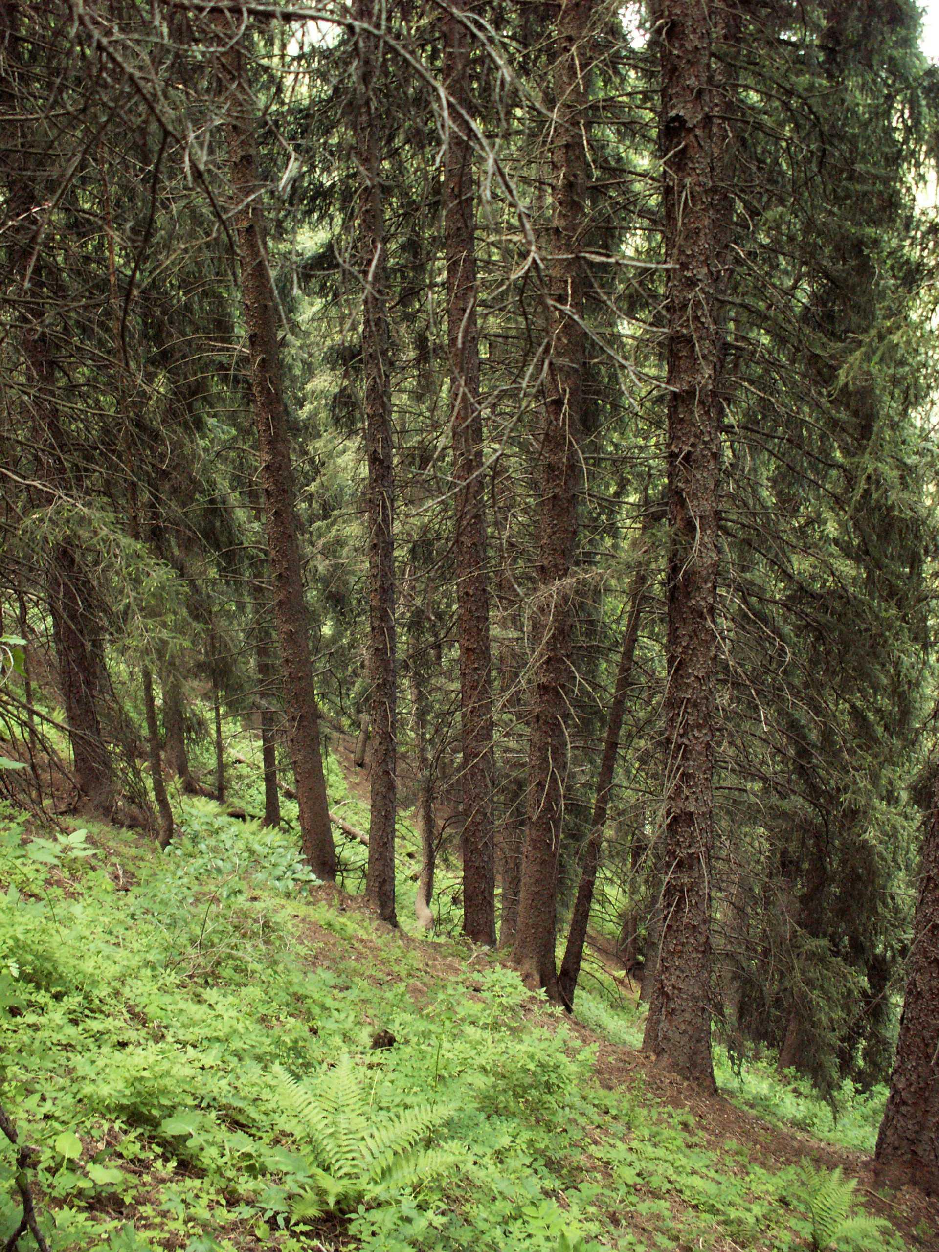 Fichtenwald am Hang von Kok-Zhailau, Nationalpark Ile-Alatau