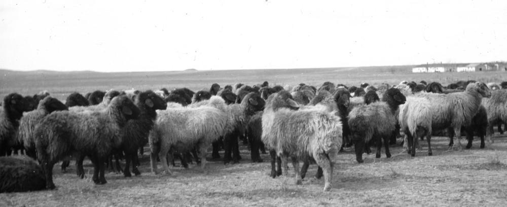 das kleinwüchsige Karakul-Schaf, wenig Fleisch, wenig Fettsteiß aber begehrtes Fell
